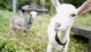 1ヶ月間、ヤギを飼ってみた正直な感想をぶっちゃけてみる。ヤギ飼いのメリット・デメリットは?