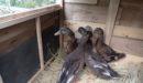 我が家に仲間が増えました。ついに合鴨を飼育することに!